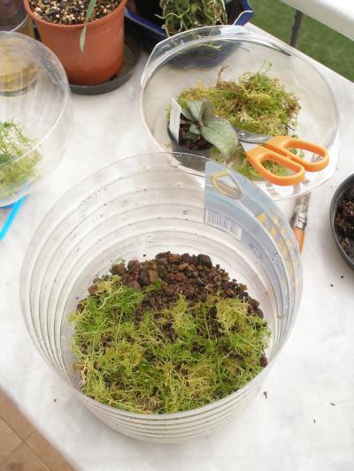 sphagnum flaschenkultur triphyophyllum u pr karnivoren g f p forum. Black Bedroom Furniture Sets. Home Design Ideas