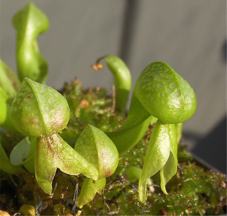 Darlingtonia freen.jpg