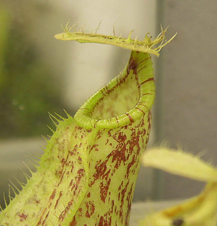 Nepenthes rafflesinia.jpg