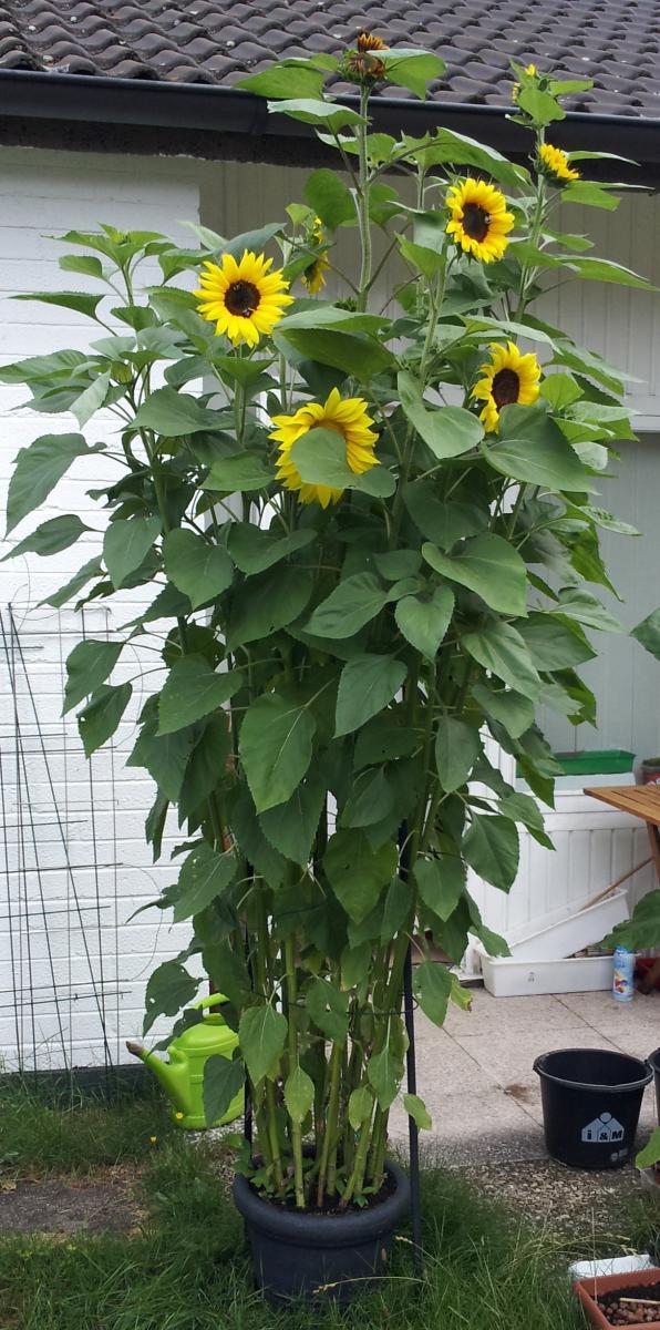 Sonnenblumen im topf sonnenblume im topf sonnenblume im Dekozentrale
