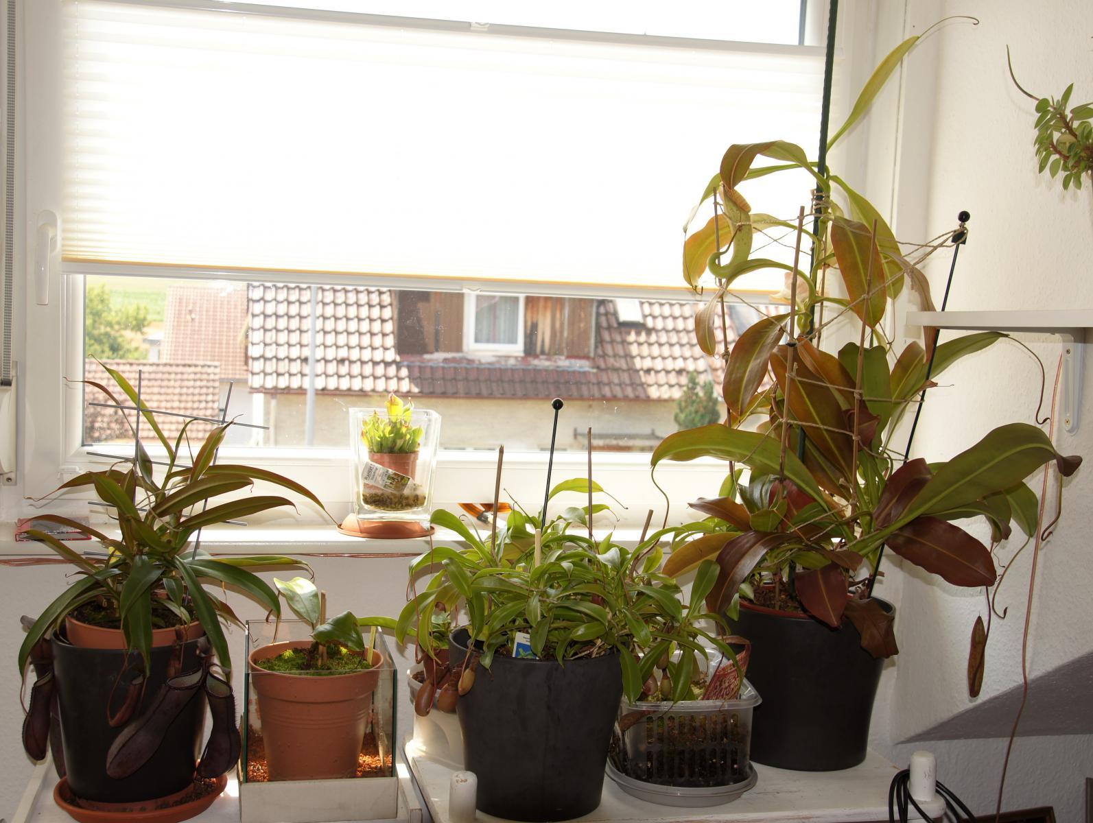pflanzen aus holland pflanzen und pflegen tulpen f r balkon garten und passiflora edulis. Black Bedroom Furniture Sets. Home Design Ideas
