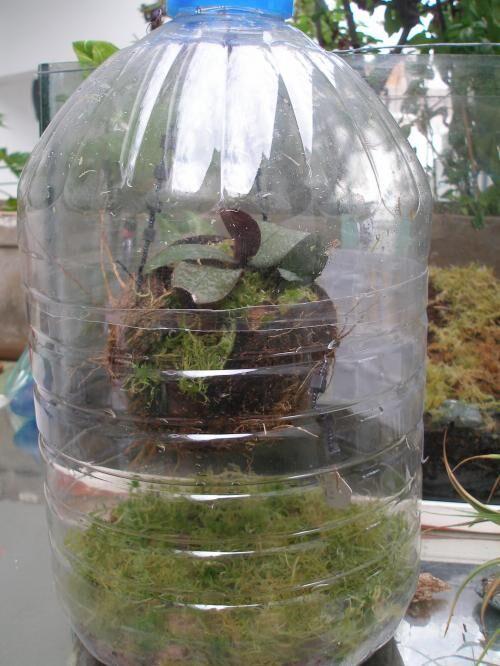 sphagnum flaschenkultur triphyophyllum pr karnivoren gesellschaft f r fleischfressende. Black Bedroom Furniture Sets. Home Design Ideas