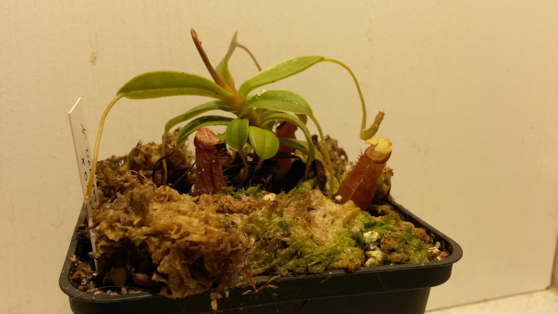 mein terrarium fotos gesellschaft f r fleischfressende pflanzen e v. Black Bedroom Furniture Sets. Home Design Ideas