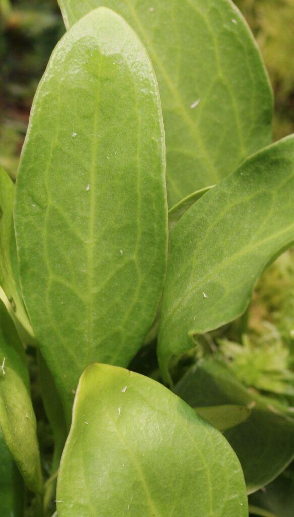 Utricularia alpina Blatt 2.JPG
