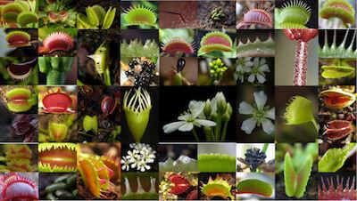 Dionaea Kopie.jpg