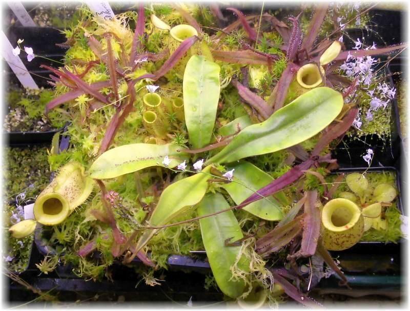 56bb98a02de95_N.ampullaria.thumb.jpg.c13