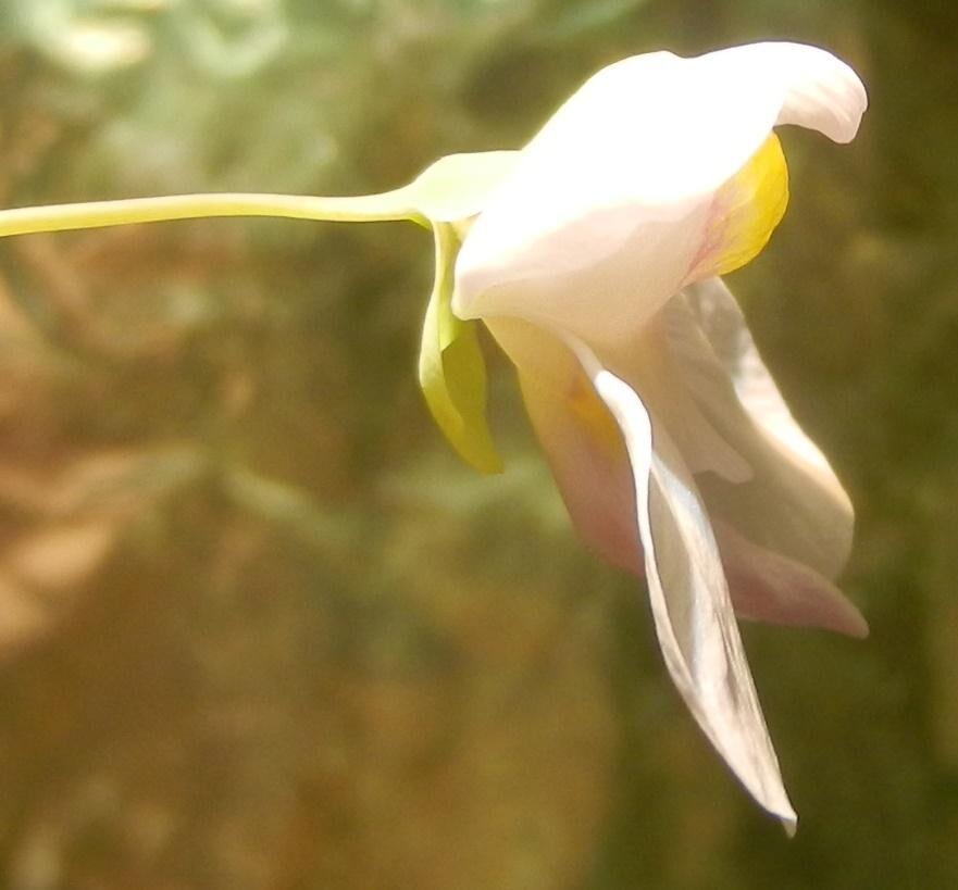 56c78e0e22f1a_Flowernephrophyllaxnelumbi