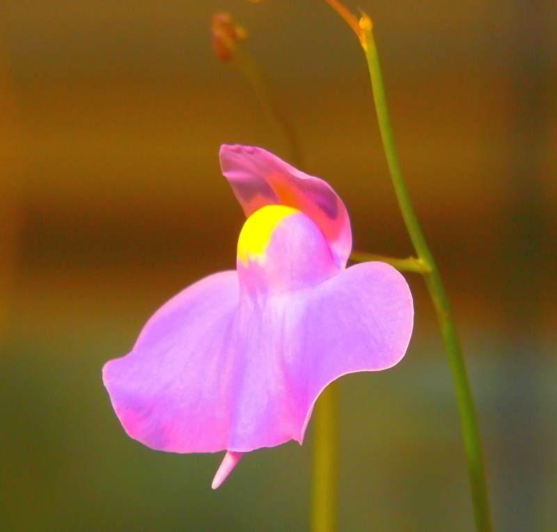 56d1e72c69e2d_Ulongifolia.thumb.jpg.888d