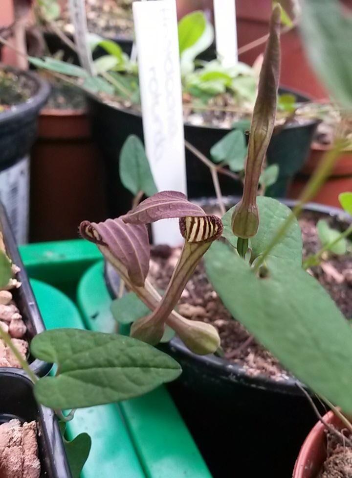 Aristolochia bianorii.jpg