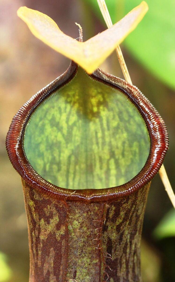 Nepenthes adnata x campanulata 1.jpg