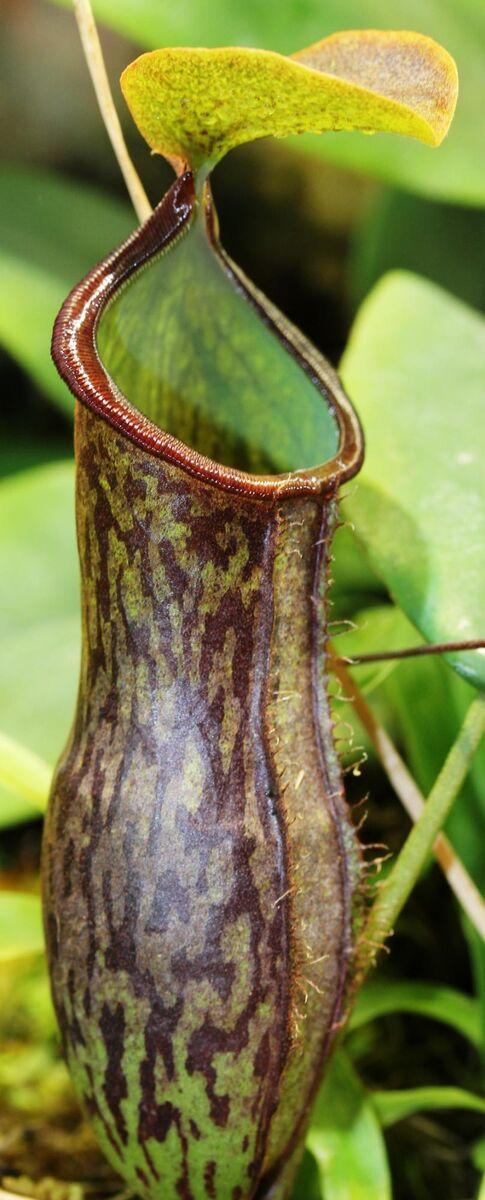 Nepenthes adnata x campanulata 2.jpg