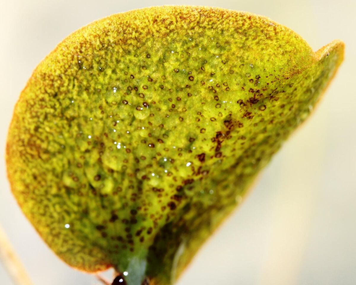 Nepenthes adnata x campanulata 3.jpg