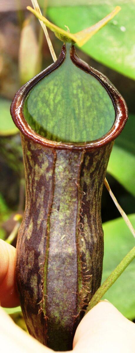 Nepenthes adnata x campanulata 4.jpg