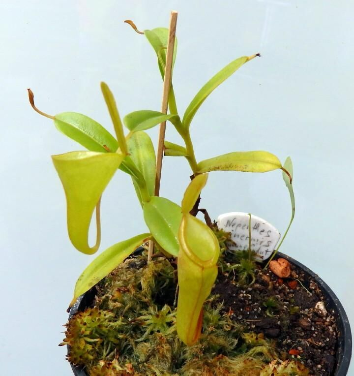 Nepenthes_inermis_090516_2web.jpg