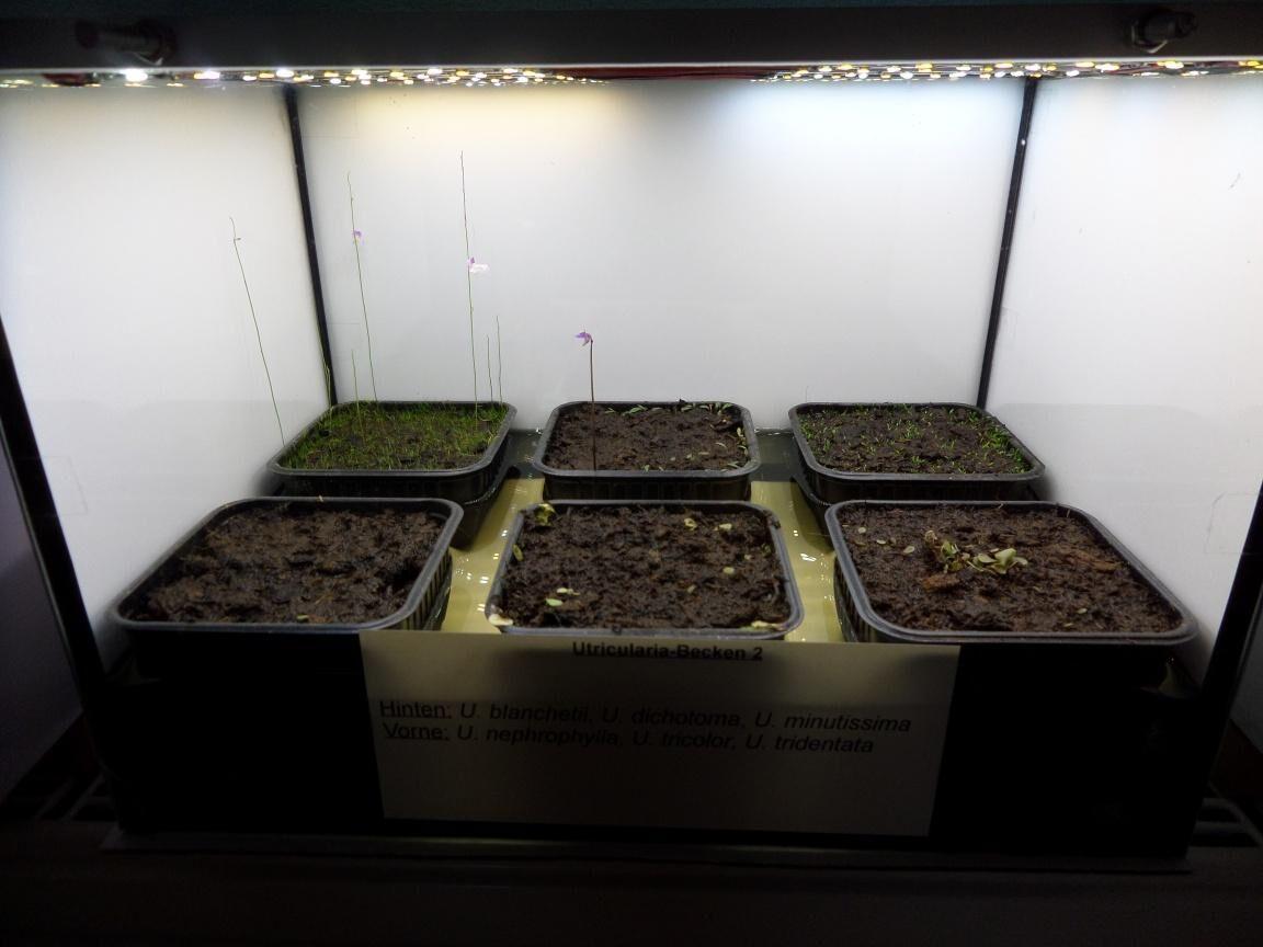 Utricularia-Becken 2.jpg