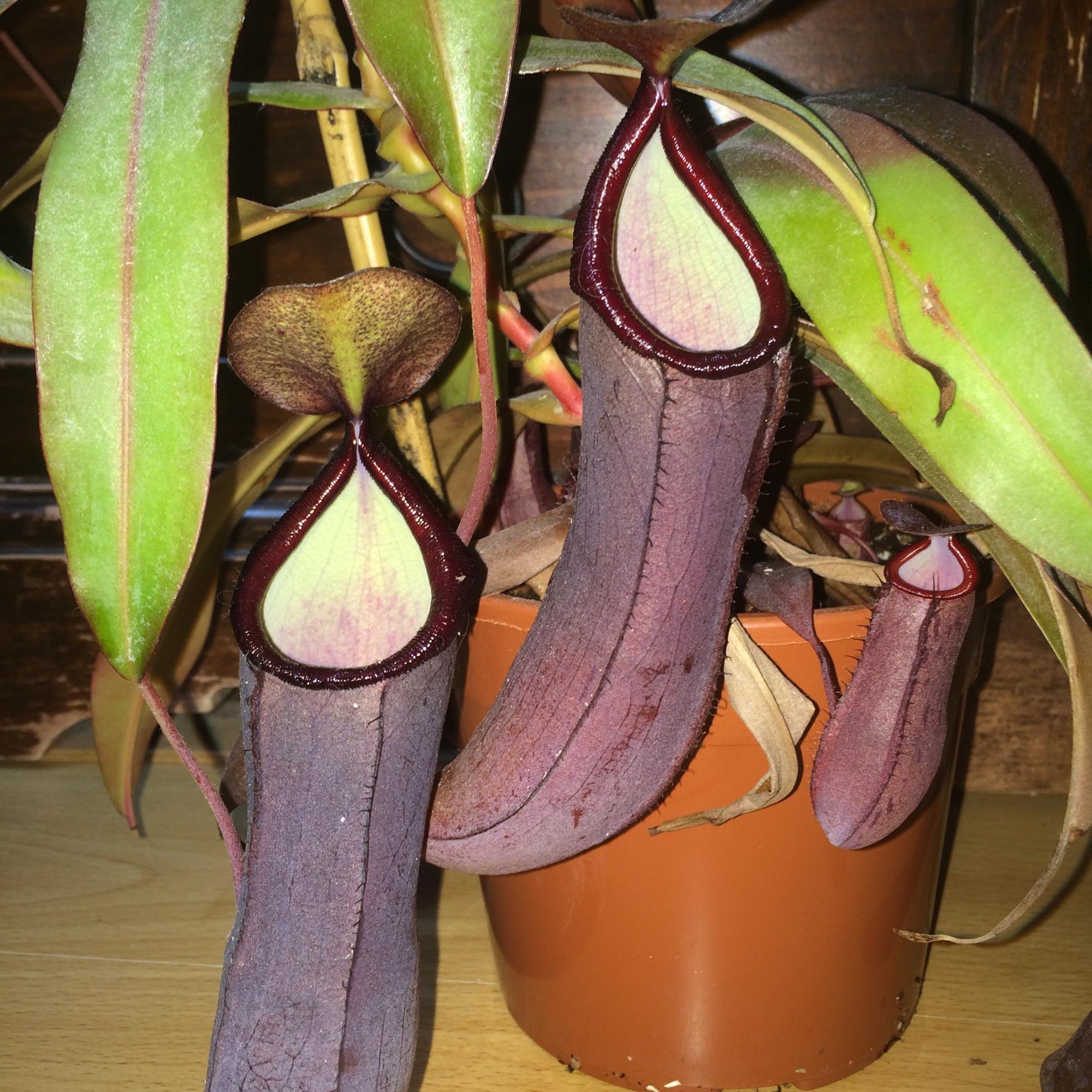 "Quelles différences entre Nepenthes ""Rebecca Soper"" et Nepenthes sanguinea ""Black Beauty""  IMG_1963.jpg.bd051a15e7badaa3739bb53946b9ac76"