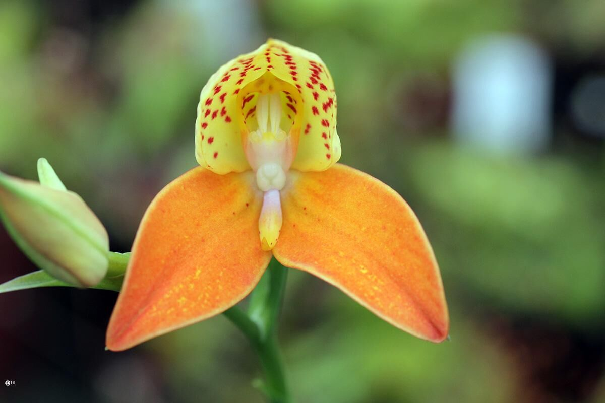 Disa kewensis orange.JPG