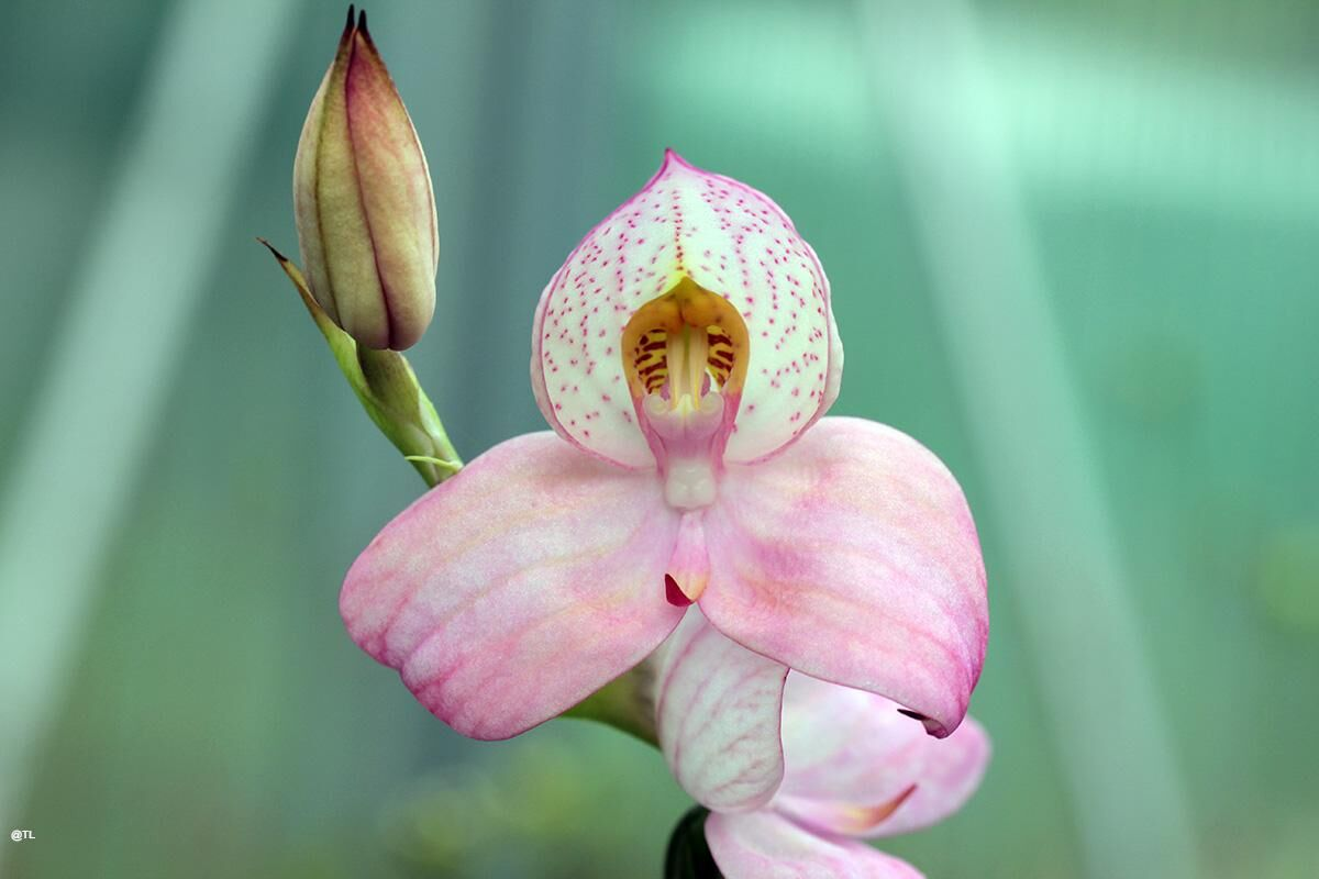 Disa Peach Blush 02.JPG