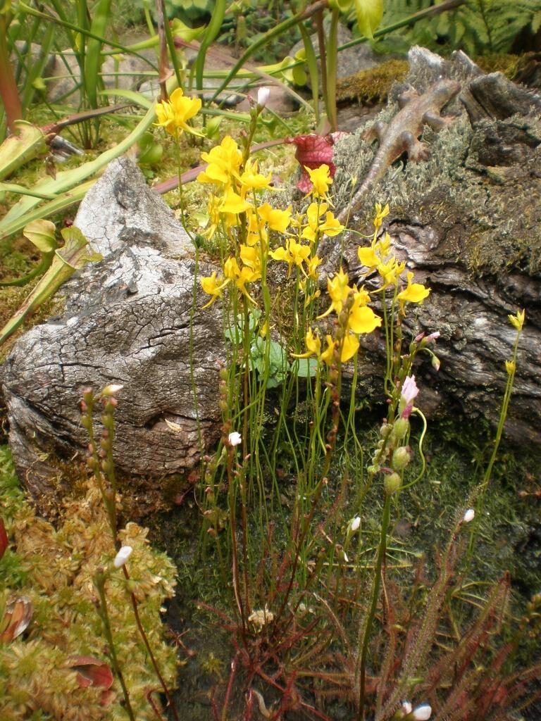 Utricularia cornuta 09.JPG