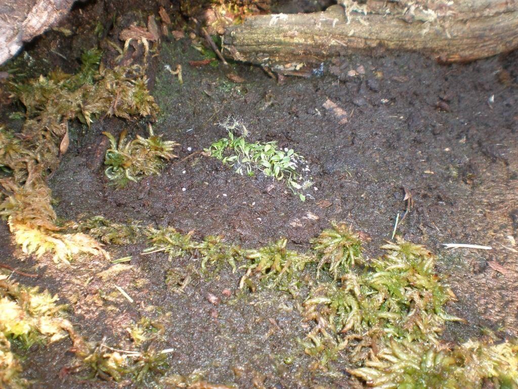 Utricularia dichotoma rechts 01.JPG