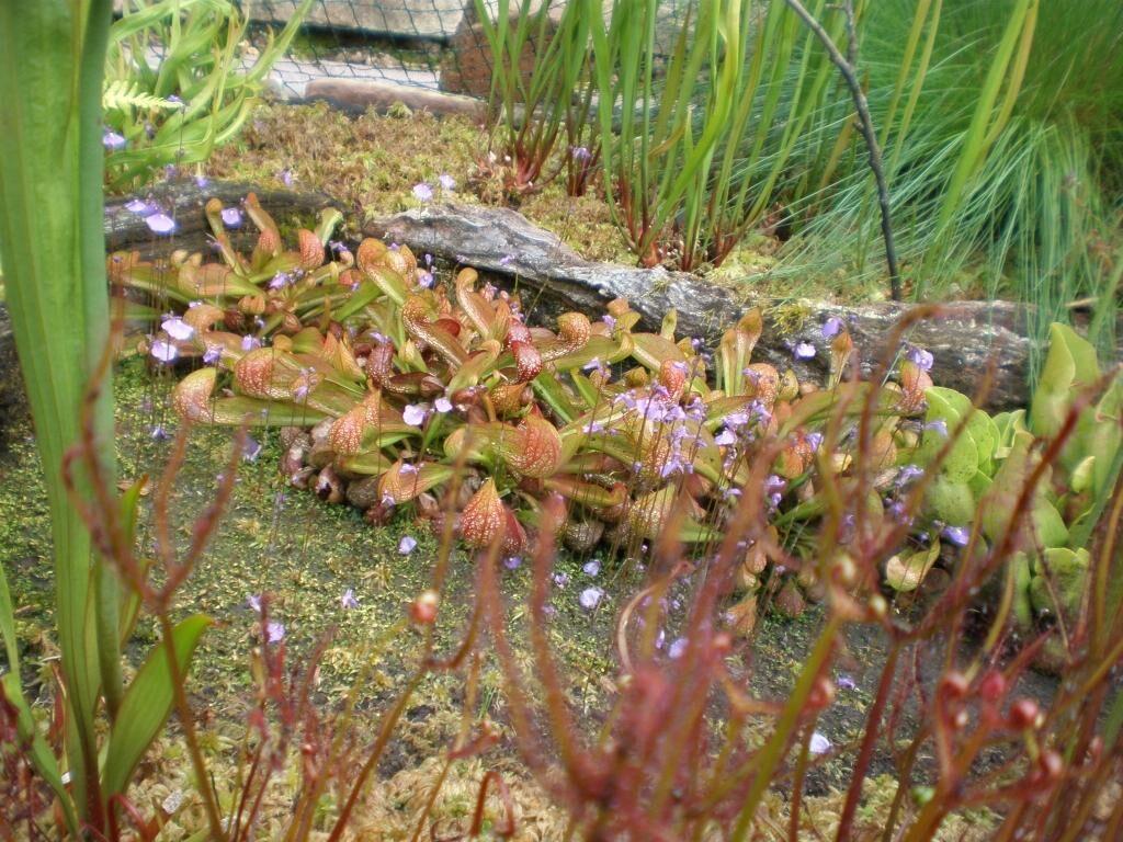 Utricularia dichotoma rechts 07.JPG