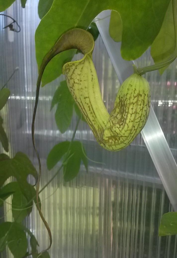 Aristolochia trilobata.jpg