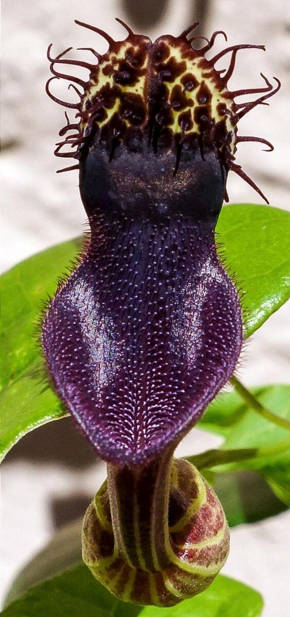 01Aristolochia chiquitensis.jpg