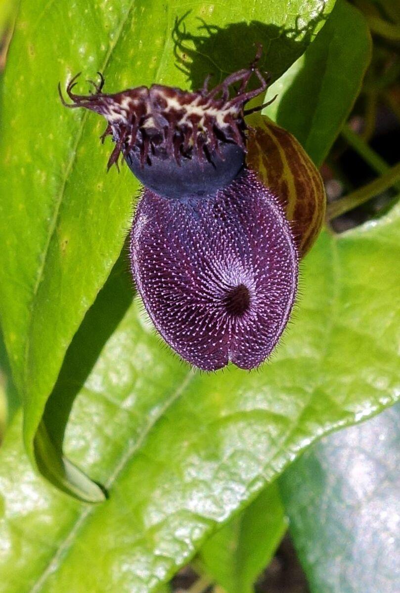 02Aristolochia chiquitensis.jpg