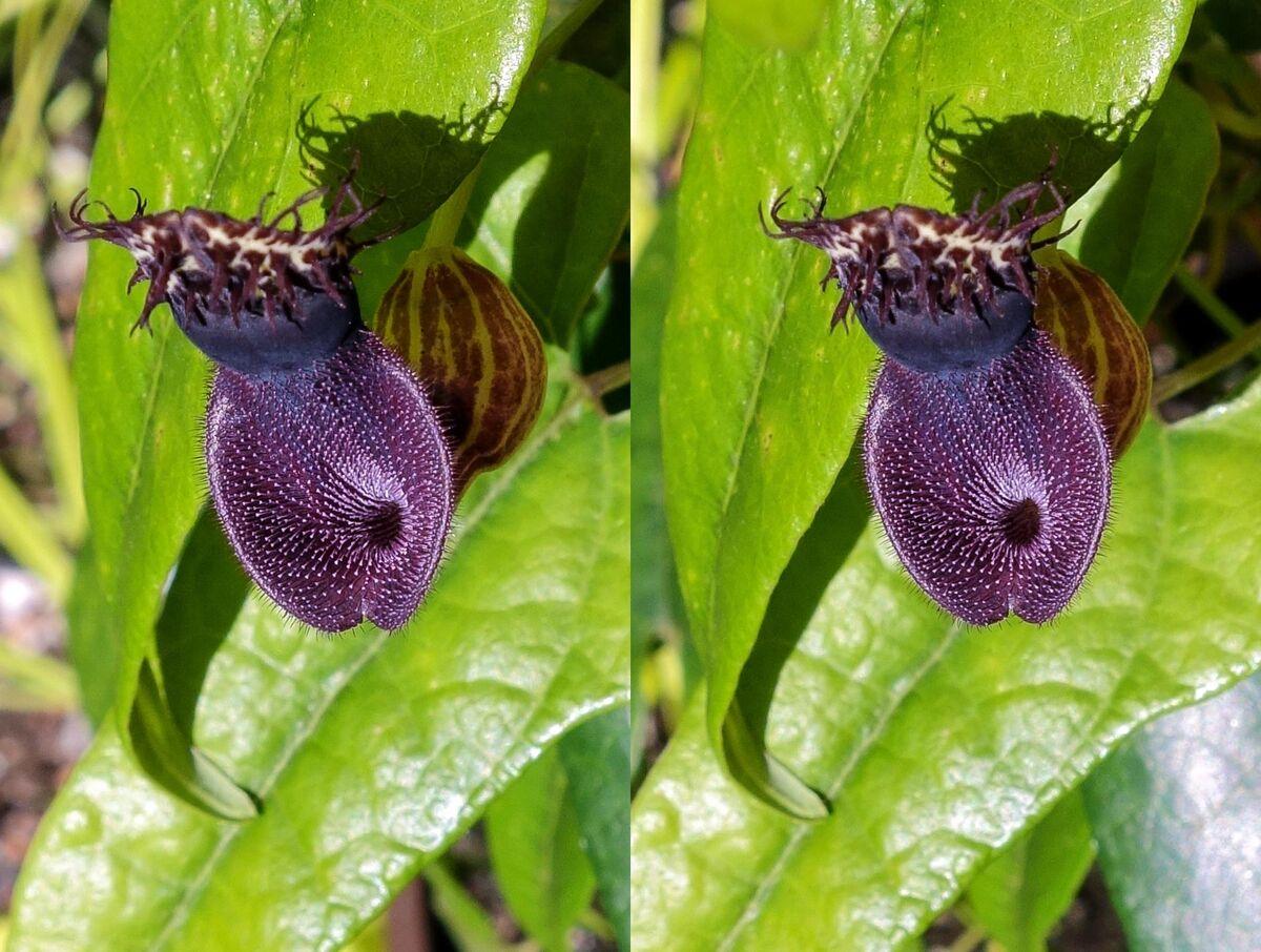 Aristolochia chioquitense02.jpg