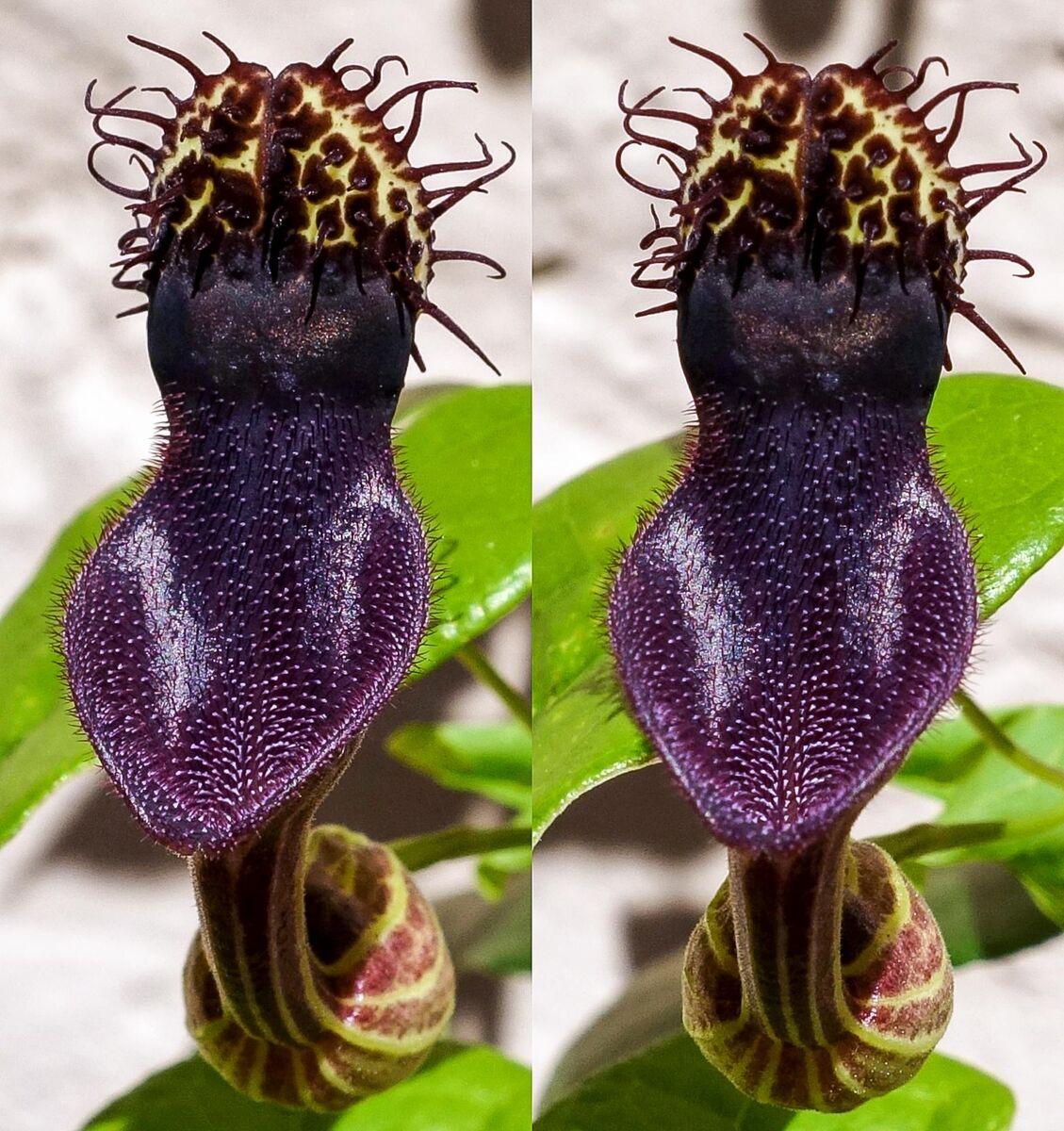 Aristolochia chiquitense01.jpg