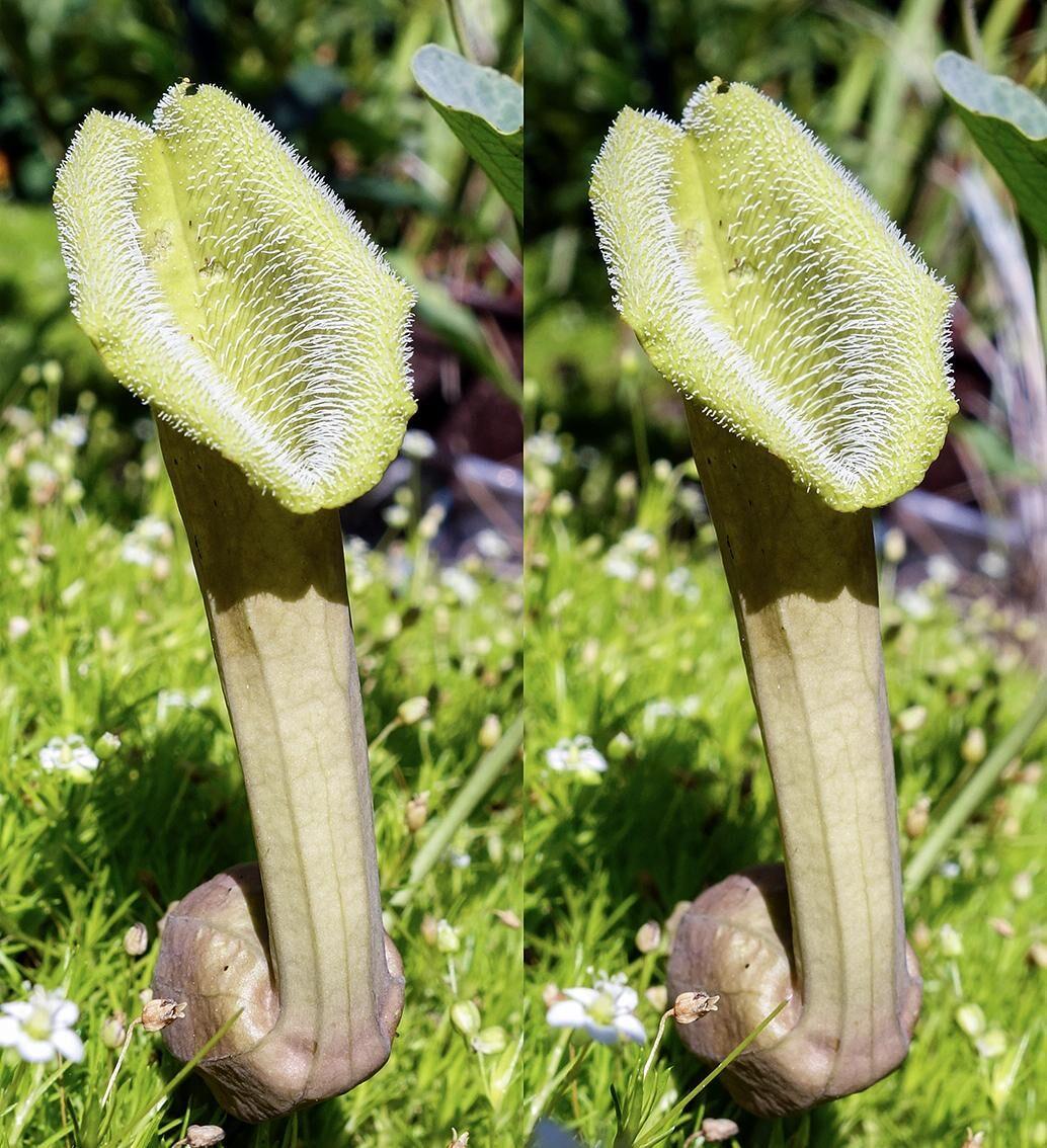 Aristolochia chilensis colorata07 - klein.jpg