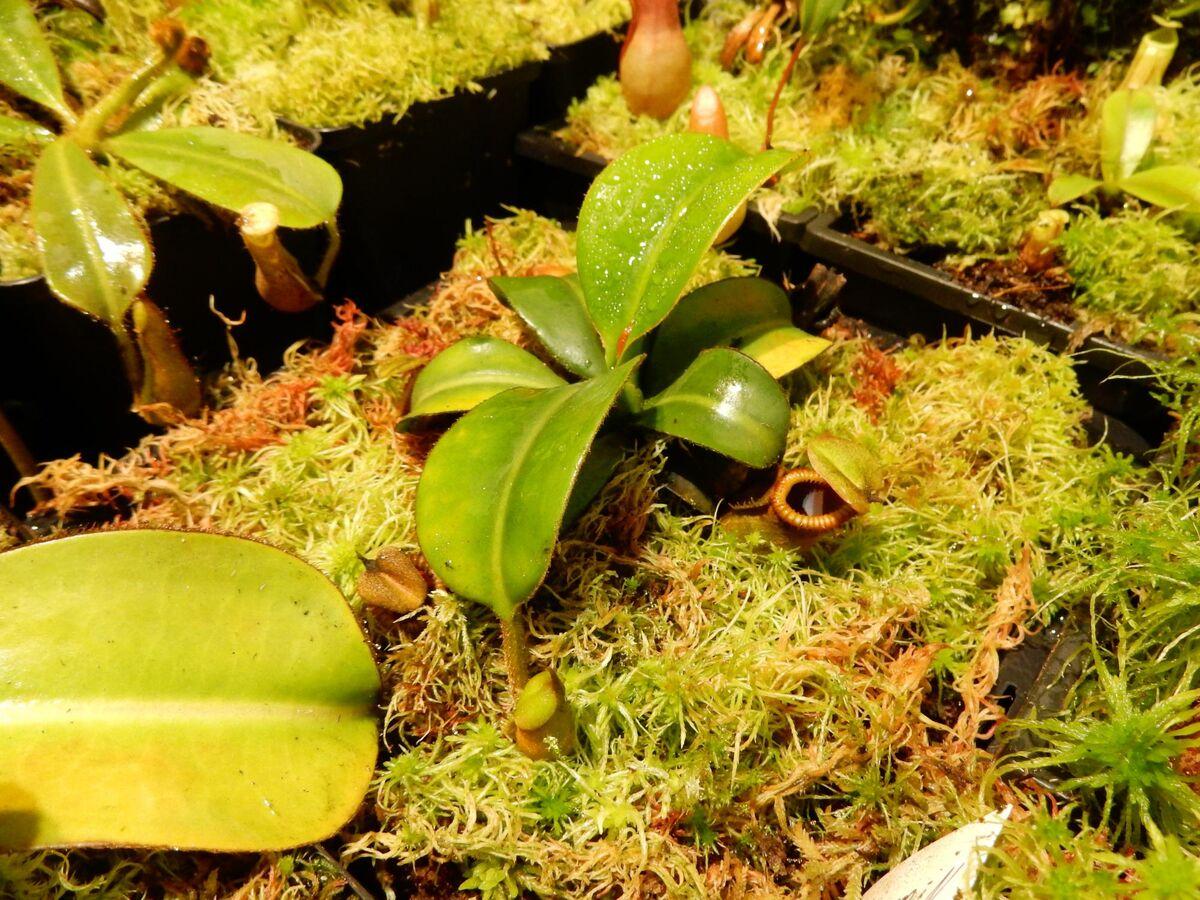 N. macrophylla (2).JPG