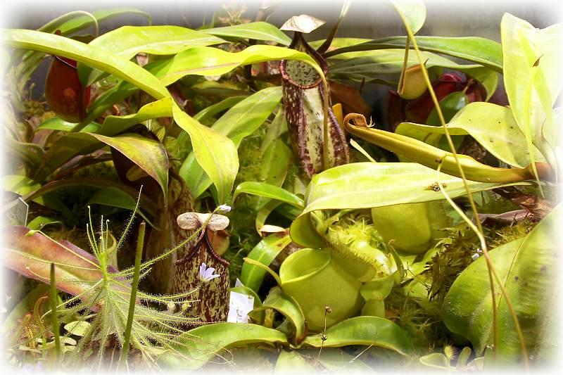 Nepenthes mixed.jpg