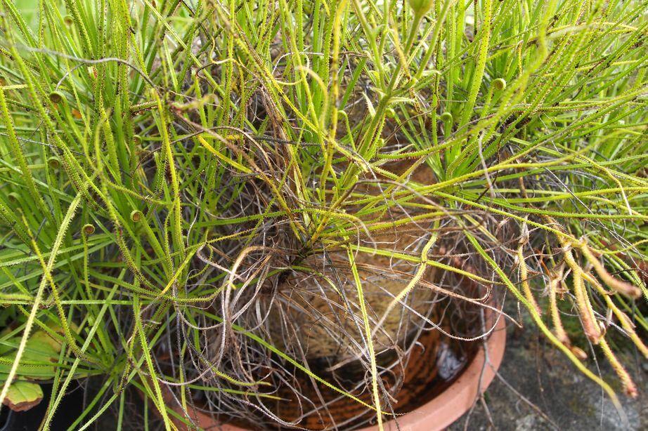 Drosophyllum abgeblüht.jpg