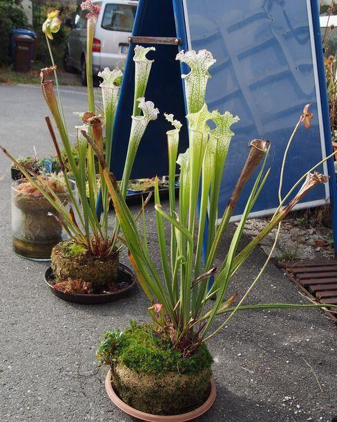 Leucophylla-beauties.jpg