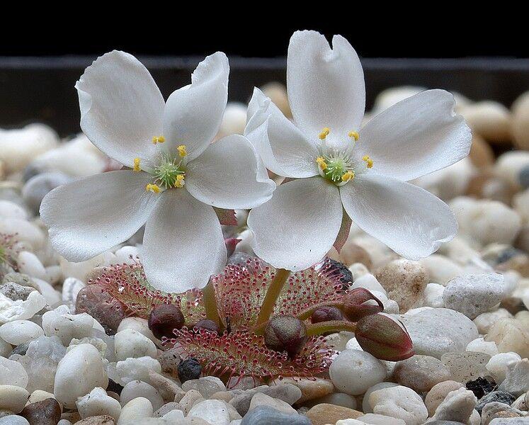 Drosera obriculata flower DOBR2.jpg