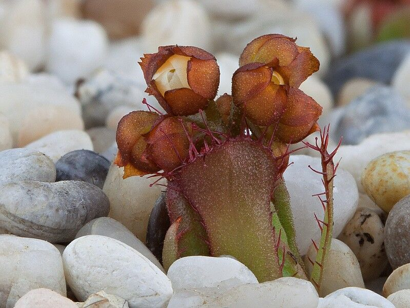 Drosera prostratoscaposa flower 2 DPRO2.jpg