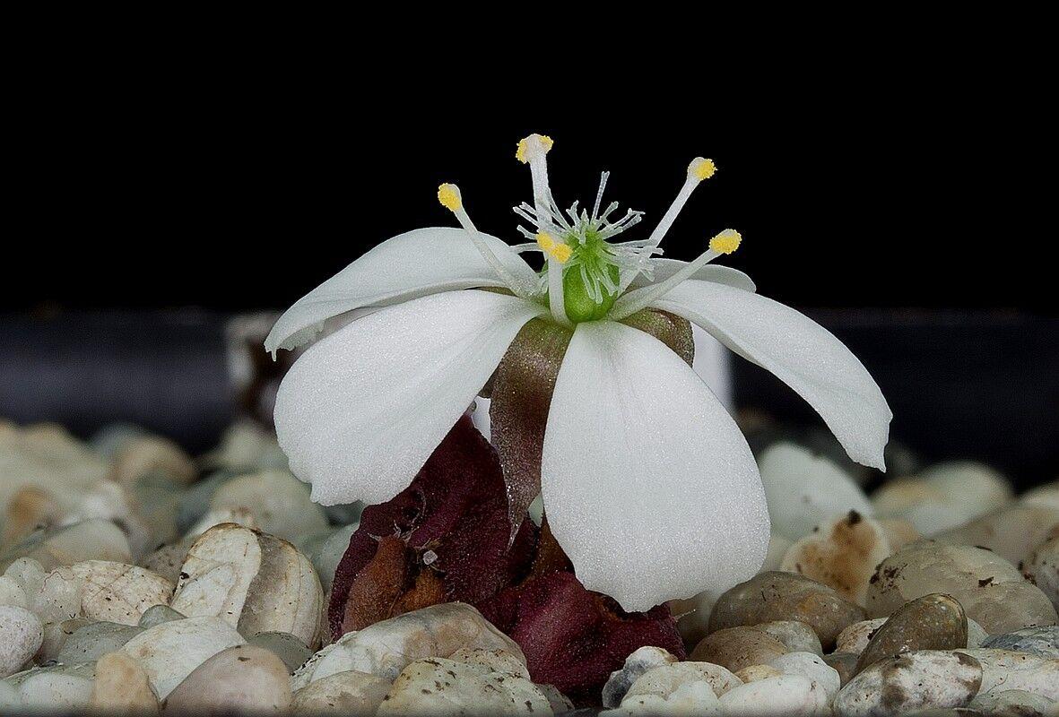Drosera squamosa flower 2 DSQA1.jpg