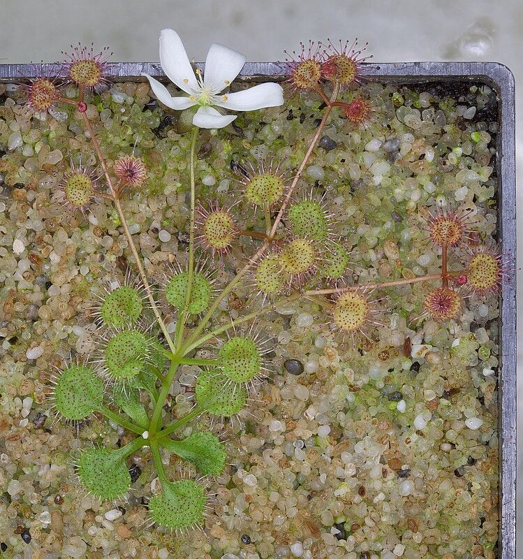 Drosera prostrata plant 1 DPRS1.jpg