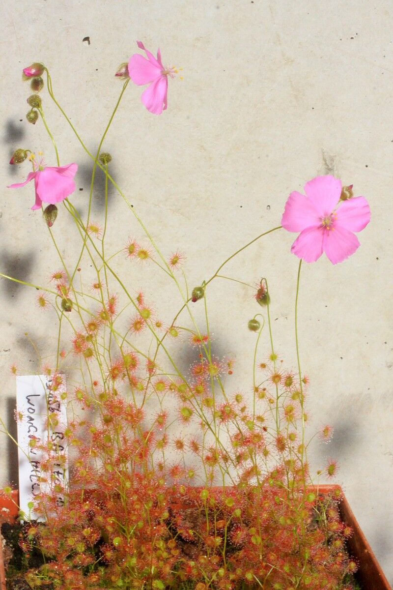Dbasifolia_WonganHills_0001p.thumb.JPG.c047eb691747dadd64563d30e422bbc8.JPG