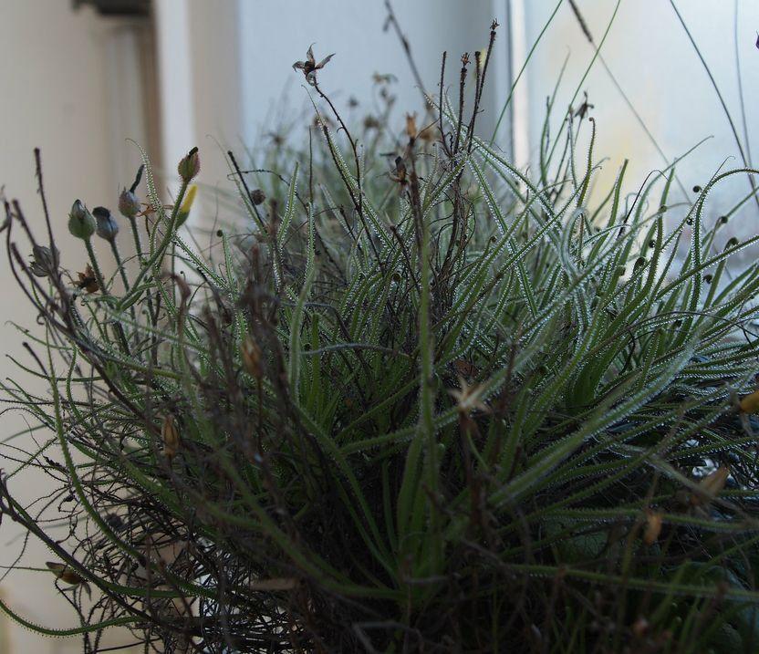 Drosophyllum2017.thumb.jpg.254fcc98ed256afa44bf34ad2b486243.jpg
