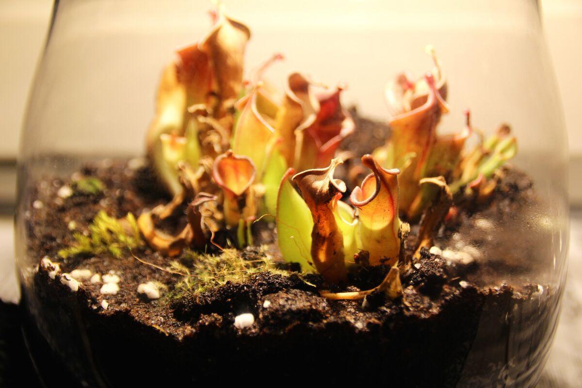 rettung einer heliamphora heliamphora gesellschaft f r fleischfressende pflanzen e v. Black Bedroom Furniture Sets. Home Design Ideas