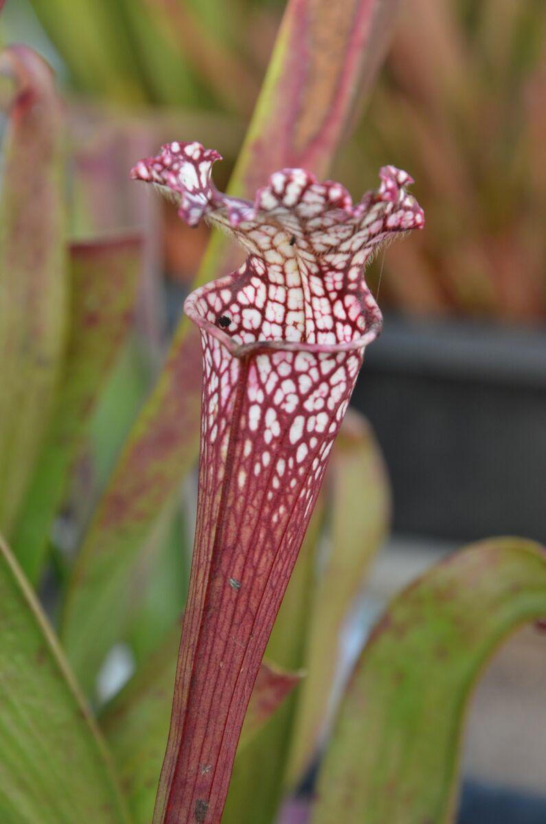Sarracenia.thumb.jpg.7227a2f5e25d7cd9f34c0372157e8be3.jpg