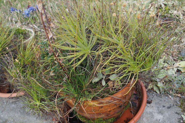 Drosophyllum2017.thumb.jpg.bea56238a3ddffbb62310e2000edbb97.jpg