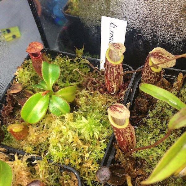 macrophylla.thumb.jpg.714ff03fcc6cdc2e95fbc3bebab6ad62.jpg