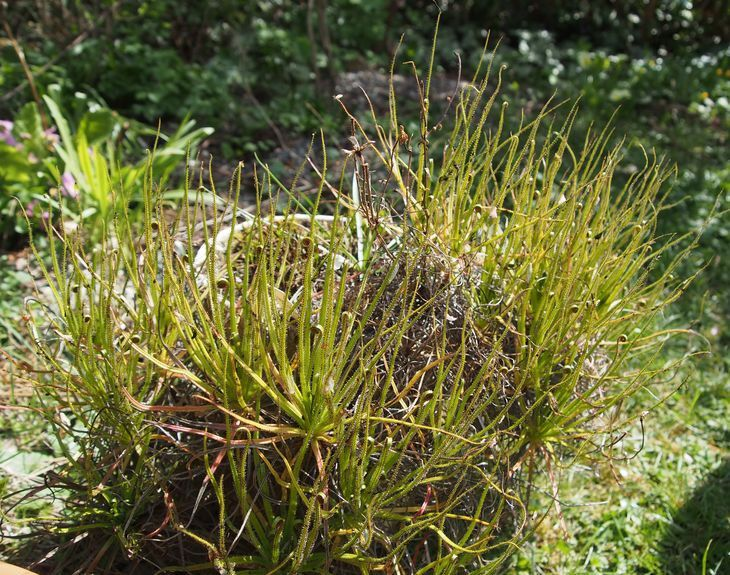 Drosophyllum-repotting1.thumb.jpg.c22a6219d1f1c82da3357143a252d6cb.jpg
