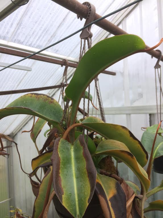 N.macrophylla.png