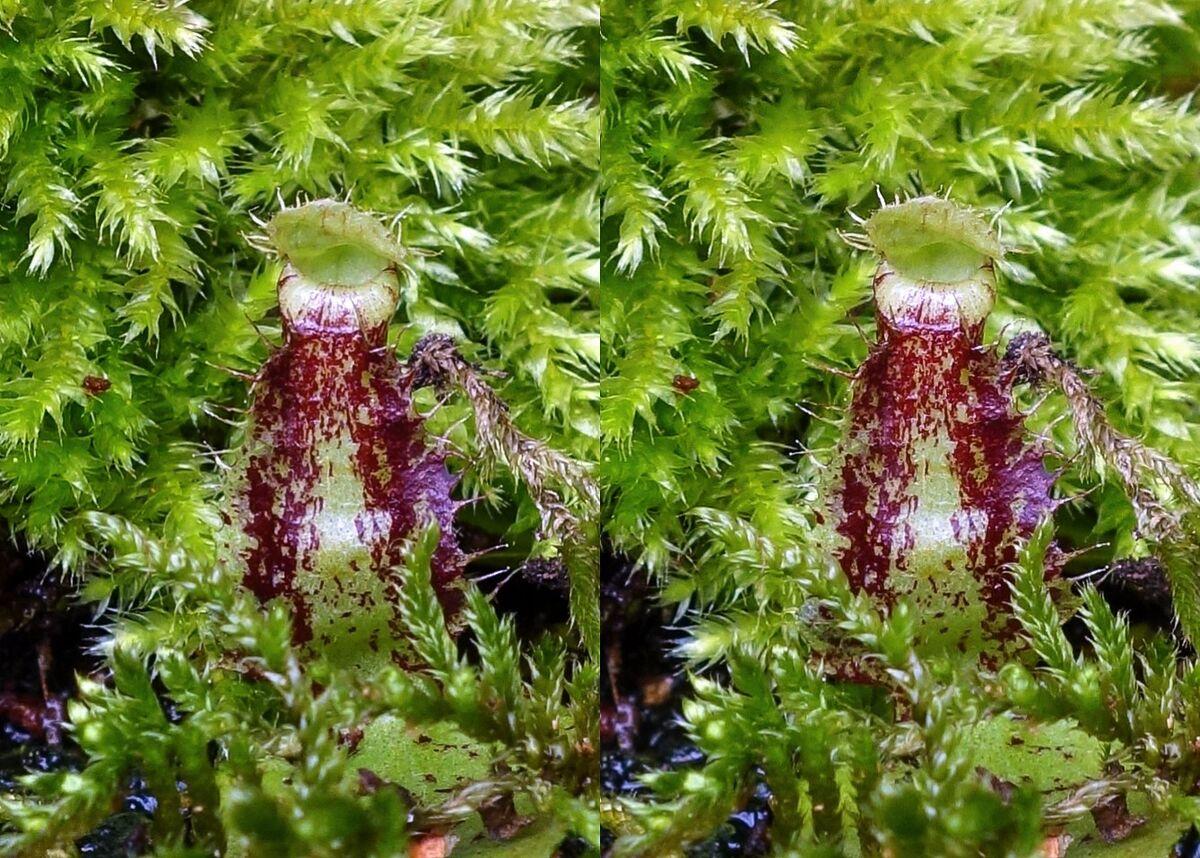 59d7689d10912_NepenthesrafflesianaDarkxampullariaBM.thumb.jpg.58dc67ea5670c525a61e22dd3ed32bae.jpg