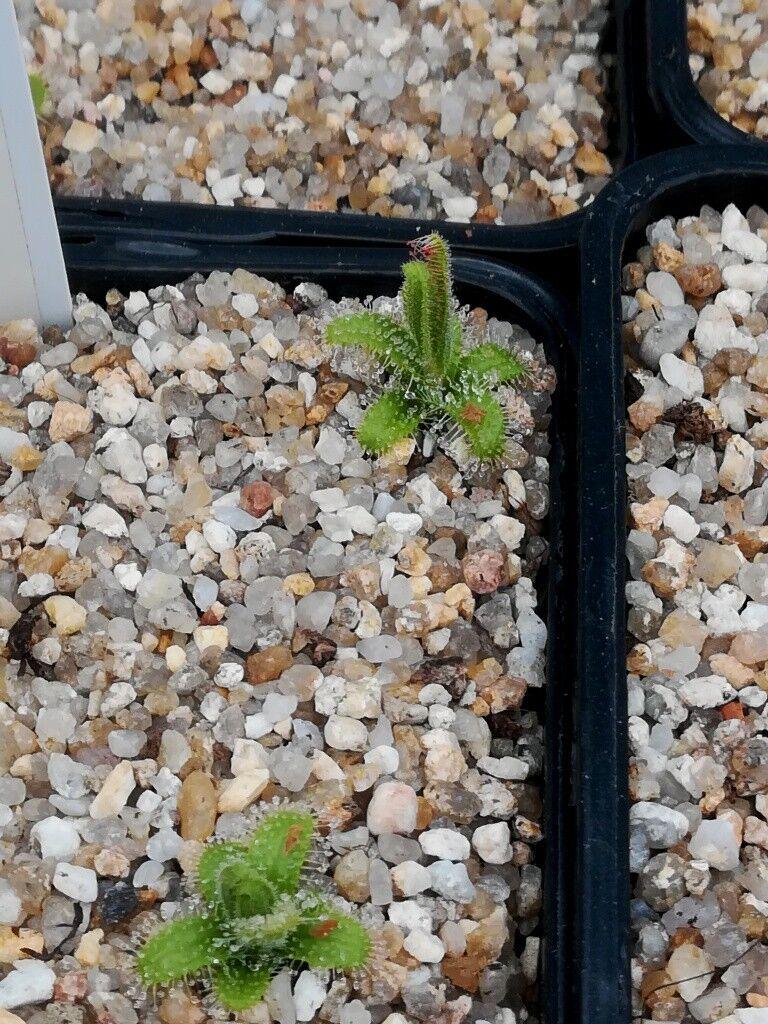 5a0469e077872_D.cisitifloraWayland.thumb.jpg.fbe00cc6492f584a6ca20cebe17f651e.jpg