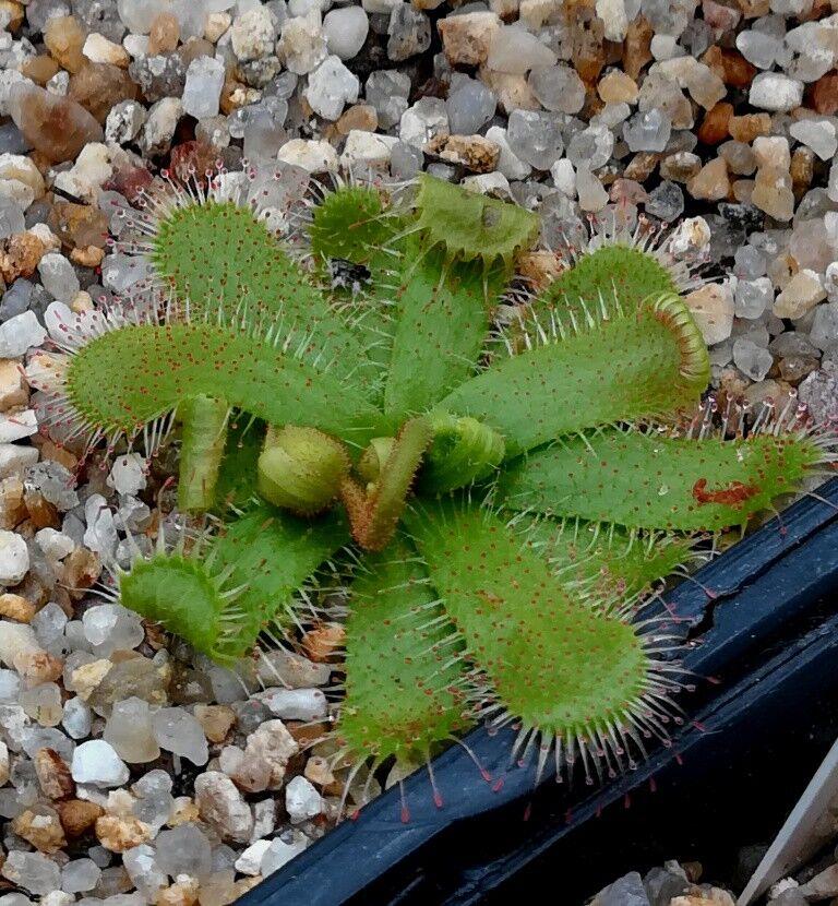 5a1947c5d9323_D.paucifloraBlte.thumb.jpg.445266224d5989c5fb62cfdafa311840.jpg
